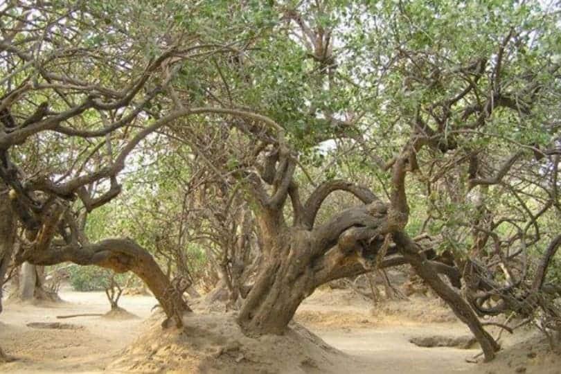 Nidhivan trees
