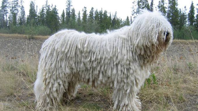 photo of dog Komondor