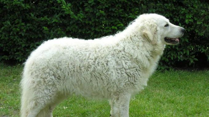 photo of Kuvasz guard dog