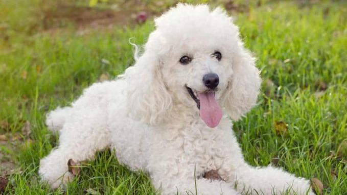 photo of Poodles dog